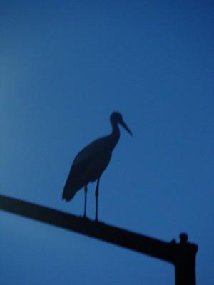 Storks in Austria